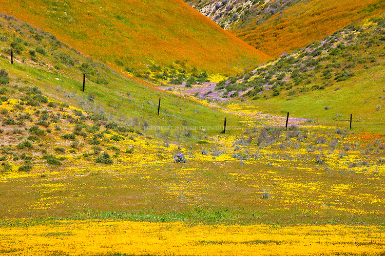 Coreopsis, Poppies and Lupin cover a hillside in the foothills of the Temblor Range, San Luis Obispo County, CA.