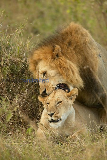 African Lions ,Panthera leo, mating.  Masai Mara Game Reserve, Kenya.