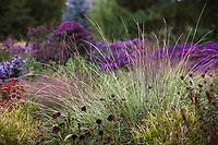 Festuca mairei, Atlas Fescue grass in Colorado prairie meadow garden; Scripter garden, design Lauren Springer Ogden