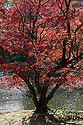 Acer palmatum, late October.