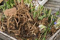 Wegwarte-Wurzel, Wegwarten-Wurzel, Wurzel, Wurzeln, Wurzelernte, Wurzeln von Wegwarte. Gemeine Wegwarte, Gewöhnliche Wegwarte, Zichorie, Cichorium intybus, Chicory, Common chicory, root, roots, La Chicorée sauvage, Chicorée amère, Chicorée commune, Chicorée intybe