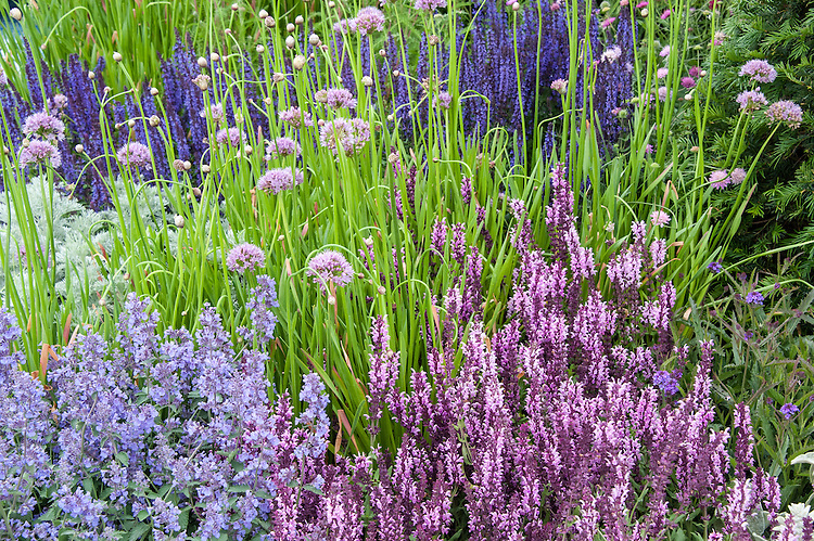 The Italian Job show garden, designed by Jack Dunckley, Hampton Court Flower Show 2012. Plants include: Allium senescens, Nepeta racemosa 'Walker's Low', Salvia nemerosa 'Caradonna', Salvia x superba 'Rose Queen'.