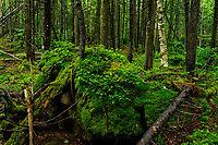 Balsam Fir forest in the Adirondack Mountains in New York State