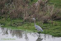 0111-0916  Great Blue Heron Wading in Water, Ardea herodias © David Kuhn/Dwight Kuhn Photography