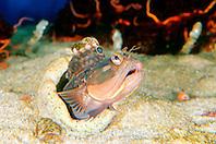 sarcastic fringehead (blenny) (c), .Neoclinus blanchardi, .California (E. Pacific).