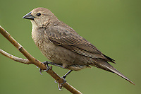 These birds feed on insects, including the large numbers that may be stirred up by cattle. In order for the birds to remain mobile and stay with the herd, the female has adapted by laying her eggs in other birds nests. Published National Wildlife calendar 2012.