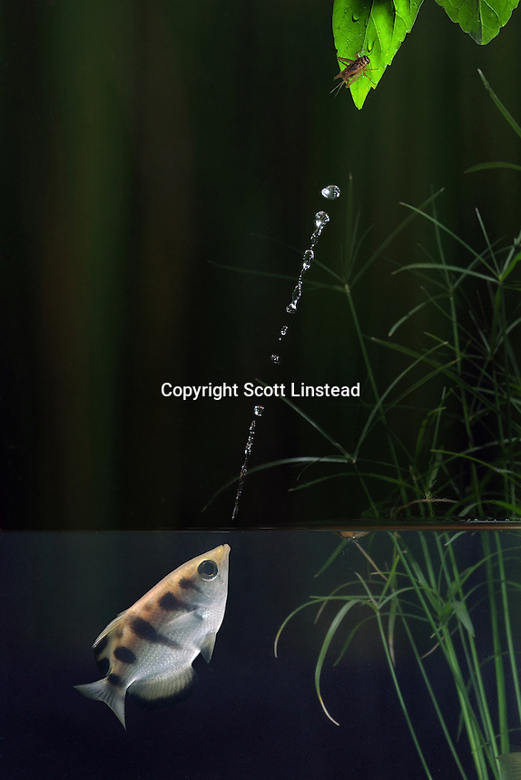 An archerfish squirts a jet of water from its mouth to displace a cricket percehd on overhanging vegetation.