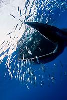 Bryde's whale, Balaenoptera edeni, feeding on a baitball of sardines, pilchards, or Californian pilchards, Sardinops sagax caeruleus, Golden Gate Bank, Cabo San Lucas, Baja California, Mexico, Pacific Ocean