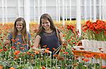 Foto: VidiPhoto<br /> <br /> BRAKEL &ndash; &ldquo;Het is bij de vrouwen nu makkelijk scoren&rdquo;, vertelt gerberakweker Marius Mans uit Brakel woensdag. En zeker met oranje bloemen. Het is niet alleen het Europees Kampioenschap voetbal voor vrouwen waardoor de vraag naar de fel-oranje snijbloem flink is gestegen, maar ook het natte weer. &ldquo;Vrouwen willen graag de zon in huis en dat kan prima met een bosje oranje gerbera&rsquo;s.&rdquo; Maar vooral ook de enorme populariteit van het Nederlands vrouwenelftal zorgt ervoor dat de oranje gerbera&rsquo;s duurder zijn dan normaal in de vakantietijd. Voor het eerst ook, want normaal gesproken worden er in de zomervakantie maar weinig bloemen gekocht en oranje is normaal gesproken al helemaal geen populaire kleur. De tweeling Iris en Amber (gestreept shirt) Grandia (16) moet dan ook woensdag flink doorbikkelen om de bestellingen op tijd te kunnen afleveren. Mans snijdt jaarlijks op 58.000 vierkante meter kas 38 miljoen gerberastelen (30 soorten).