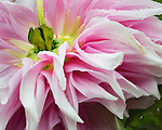 Dahlia bloom bursts with bright white radiance.  Point Defiance Park, Tacoma, WA boasts wonderful gardens including rose gardens, dahlia garden, native plant, rhododendron and acres of old growth forest.  Hike, bike, photograph, fish, picnic, kayak