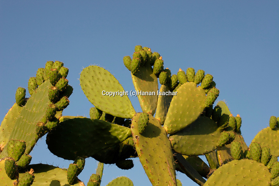 The Golan Heights. Prickly Pear in Hurbat Kanaf