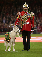 The royal welsh regiment mascot and Wales mascot goat Shenkin IV with his handler<br /> <br /> Photographer Ian Cook/CameraSport<br /> <br /> Under Armour Series Autumn Internationals - Wales v Tonga - Saturday 17th November 2018 - Principality Stadium - Cardiff<br /> <br /> World Copyright © 2018 CameraSport. All rights reserved. 43 Linden Ave. Countesthorpe. Leicester. England. LE8 5PG - Tel: +44 (0) 116 277 4147 - admin@camerasport.com - www.camerasport.com