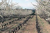 Europe/France/Languedoc-Roussillon/30/Gard/Environs de Castillon du Gard/Côtes du Rhone: Vigne et verger au début du printemps