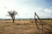 Pernambuco State, Brazil. Caatinga (agreste) vegetation in the Sertao region; arid conditions with cactus plants and dead branch.