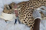 Cheetah (Acinonyx jubatus) veterinarian, Kambwiri Banda, cleaning wound of twenty-one month old sub-adult female during collaring, Kafue National Park, Zambia