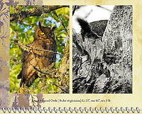 "February of the 2014 Birds of a Feather Calendar. Photos is called ""Wise Old Owl"" and ""Great Horned Owl Peek-a-boo"".  A Great Horned Owl (Bubo virginianus) is sitting on a tree branch with the setting sun shining on him and yellow eyes looking at viewer in the Ridgefield National Wildlife Refuge."