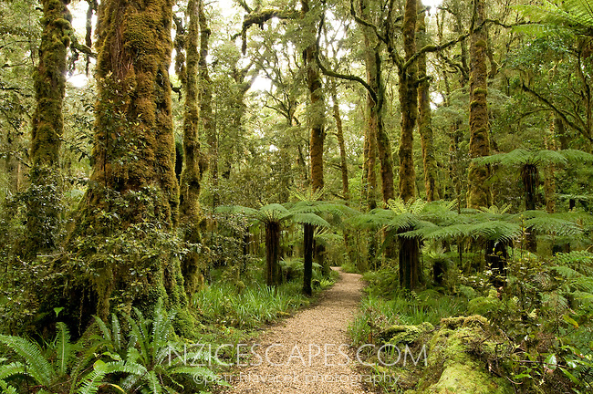 A track through the moss and lichen covered bush in the Oparara Valley - Kahurangi National Park