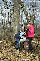 Young girls pouring sugar maple sap from tree bucket into collection bucket
