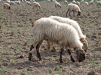 Sheep pair in the pasture