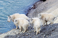Mountain goats (Oreamnos americanus) in May, Northern Rockies