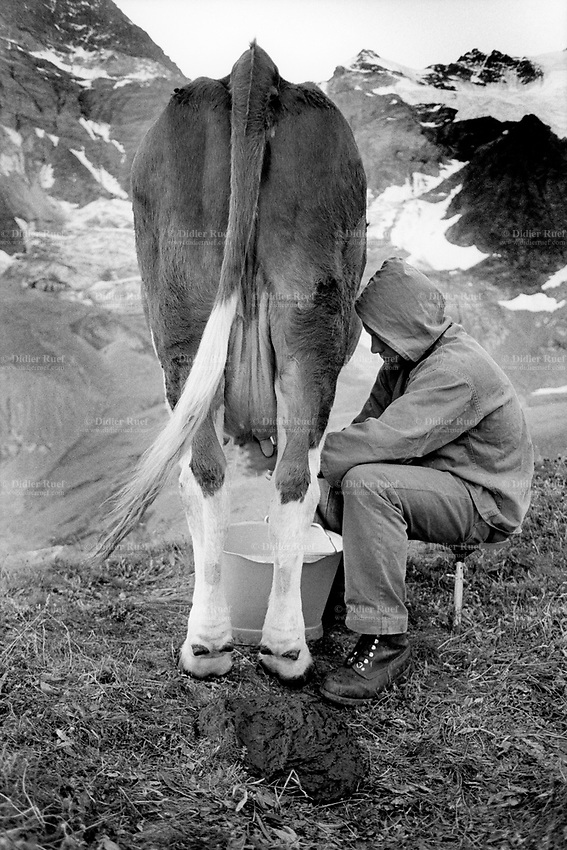 Switzerland. Canton Bern. Lauterbrunnen valley. Oberhorn alp (2200 meters high). Simmental Cattle. A young man is milking a cow. Season spent by cows in mountains pastures. Swiss alpine farmers. Alps mountains peasants.  © 1993 Didier Ruef