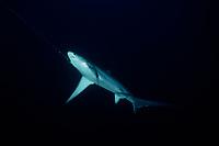 pelagic thresher, Alopias pelagicus, being hooked on longline fishing, Cocos Islands, Costa Rica, Pacific Ocean