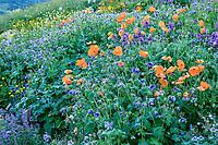 France, Hautes-Alpes (05), Villar-d'Arène, jardin alpin du Lautaret, jardin d'Asie central devant avec les taches oranges des pavots rouge brique (Papaver lateritium),