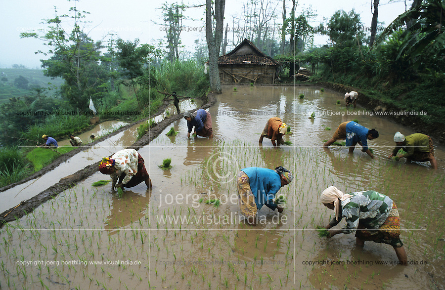 INDONESIA Java Jember, women plant rice in rice terrace in mountain range / INDONESIEN Frauen pflanzen Reissetzlinge in Terrassenfeldern