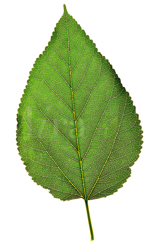 Close up of a single green leaf on a white backgroun
