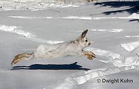 MA19-553z  Snowshoe Hare running on snow,  Lepus americanus