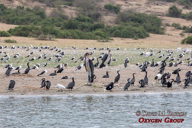 Marabou Storks & Other Birds