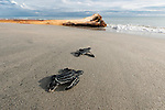 Leatherback baby turtle running out from its nest towards the sea