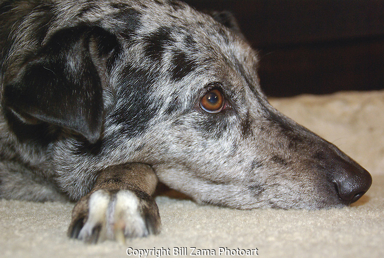 "Our Catahoula Hound ""Winter"".  We miss her."