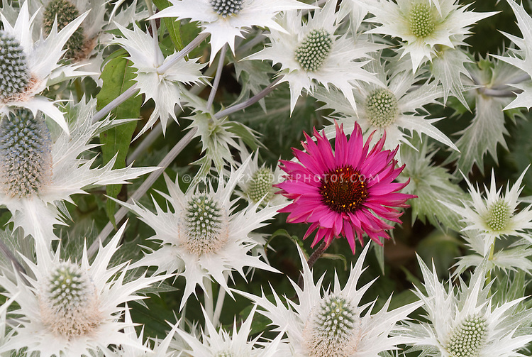 Giant Sea Holly flowers Eryngium giganteum 'Silver Ghost' with Echinacea purpurea