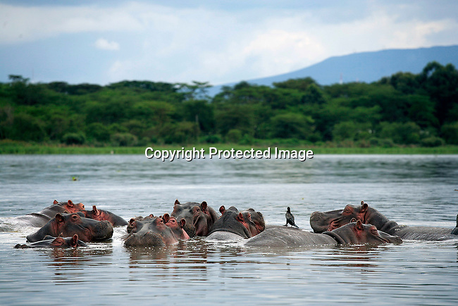 Hippos in Lake Naivasha. Many people here work in the flower houses and the live in overcrowded dirty conditions. These flowers are exported internationally. Photo: Per-Anders Pettersson/Getty Images