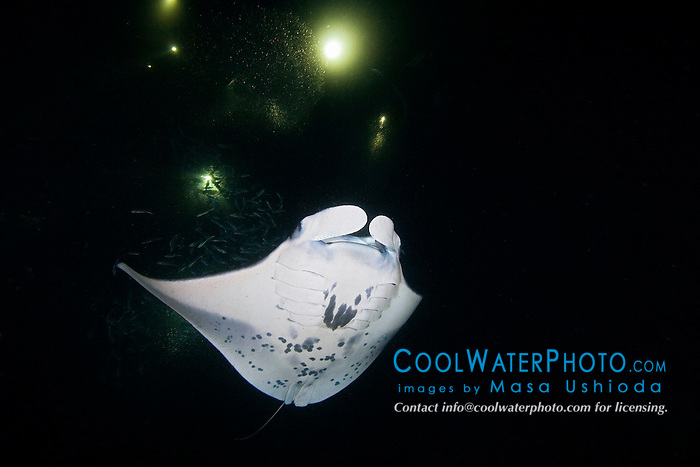 reef manta ray or coastal manta, Manta alfredi, feeding on plankton at night, off Kona Coast, Big Island, Hawaii, Pacific Ocean