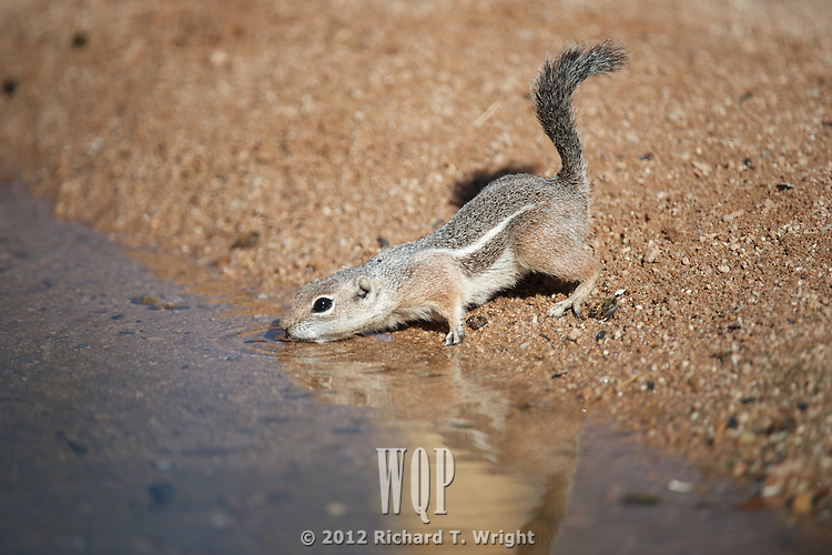 Harris's Antelope Squirrel
