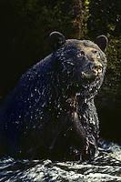 Black Bear (Ursus americanus) Pacific Northwest.