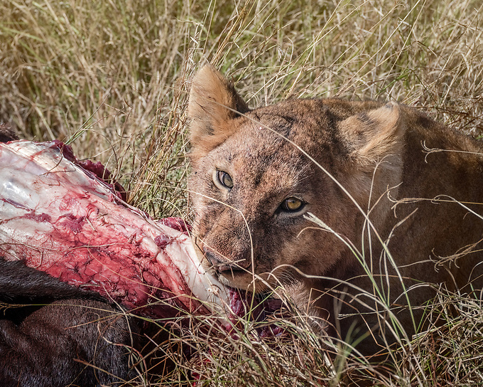 After waiting his turn, a lion cub feasts on the remains of a fresh kill.