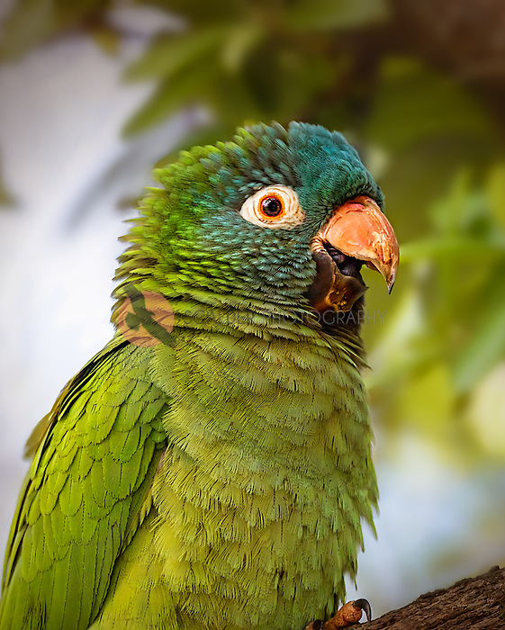 Close view of Blue-Crowned Parakeet perched on limb