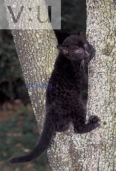 Leopard, Panther ,Panthera pardus, cub, captive