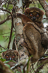 Woolly lemur or avahi,<br /> Madagascar