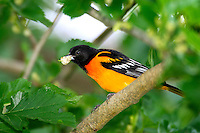 Baltimore Oriole eating a white mulberry