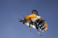 Ackerhummel, Acker-Hummel, Hummel, Weibchen, Königin, Flug, fliegend, Bombus pascuorum, Bombus agrorum, Megabombus pascuorum floralis, common carder bee, carder bee, female, queen, flying, flight, le bourdon des champs