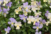Viola cornuta 'Tinkerbell'