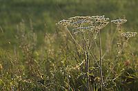 Wiesen-Bärenklau im Gegenlicht, Wiesenbärenklau, Gemeiner Bärenklau, Heracleum sphondylium, common hogweed
