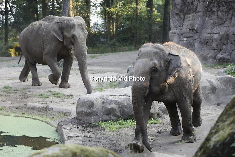 Foto: VidiPhoto<br /> <br /> ARNHEM – Achtervolgd door een nieuwsgierige Pinky, gaat nieuwkomer olifant Saba er vandoor, te verlegen en te zenuwachtig voor een nadere kennismaking. Een confrontatie bleef daarom uit in Burgers' Zoo tussen de bejaarde besjes. Woensdag mochten ze voor het eerst samen in hetzelfde buitenverblijf, maar de 51-jarige Saba bleek opvallend leniger en sneller dan oudgediende Pinky (52). Deze laatste was na de dood van Rekka in april dit jaar de enige olifant in de Arnhemse dierentuin. Vrijdag arriveerde Saba, die al tientallen jaren een eenzaam leven leidde in een Zweedse dierentuin. De bejaarde Scandinavische dame ging het contact met de nieuwsgierige Pinky angstvallig uit de weg. Dierverzorgers hopen en verwachten dat de dieren de komende weken langzaam aan elkaar zullen wennen. Burgers' Zoo heeft in Europees verband voor olifanten de status van bejaardenhuis, waar de dikhuiden hun laatste levensjaren mogen slijten. Olifanten worden gemiddeld 60 jaar oud.