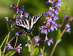 Western Tiger Swallowtail at the Sage flowers