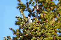 Chipping Sparrow (Spizella passerina) in subalpine fir, Yellowstone National Park, Montana.  May.