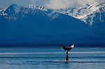 Alaska, Humpback Whale, whale tail, Icy Straits, Point Adolphus, Chichagof Island, the Inside Passage, Southeast Alaska, Megaptera novaeangliae, USA.